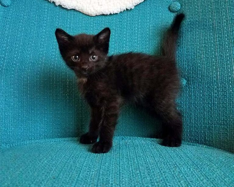Small black kitten against a teal background.