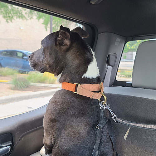 Geraldine, a black pittie, looking out the car window.