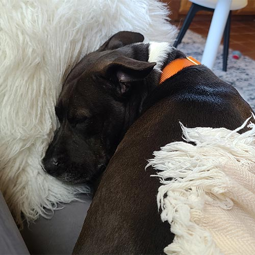 Geraldine, a black pittie, curled up on the couch.