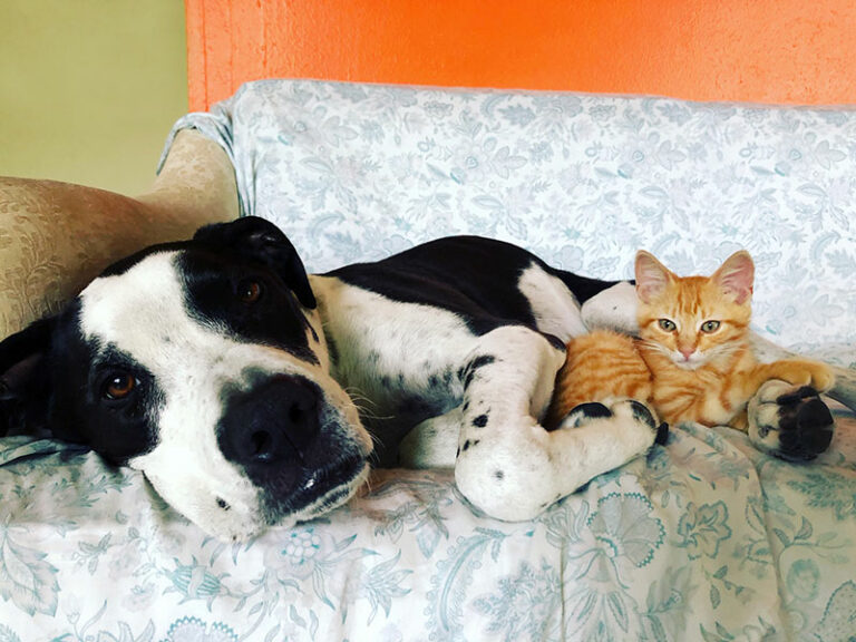 Blocky headed black and white dog and small orange kitten on a couch. 6-Tips-to-Get-More-Fosters-and-Adopters