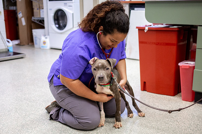 vet tech in purple shirt holding gray puppy