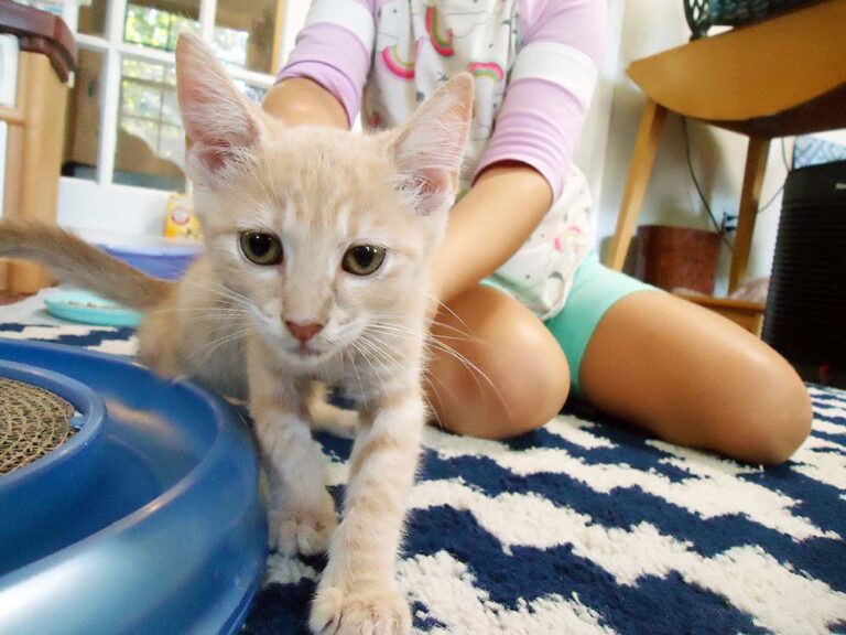 Light yellow cat crawling towards the camera with a young girl reaching for him - Three Medical Programs to Keep Pets with People