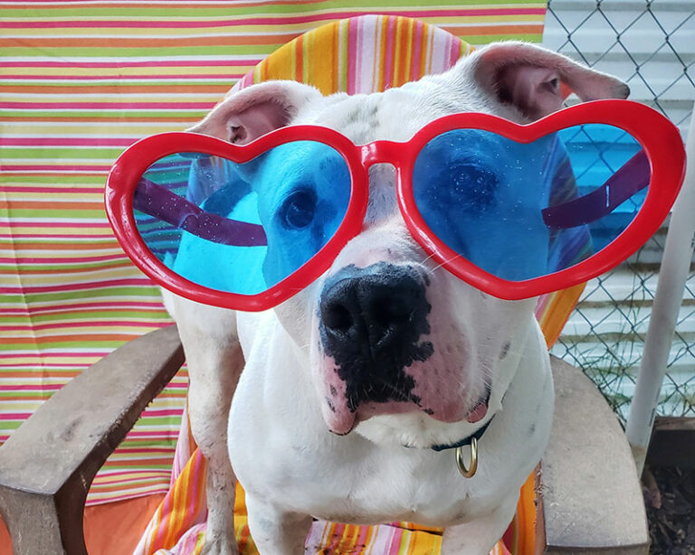 """Meeklo, a white pittie type dog, wearing big red heart shaped sunglasses sitting in a beach chair. Featured image for """"With Summer Temps Ahead, It's Time to Up Your Dog Parenting Game"""""""