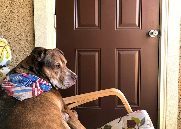 Brown dog sitting in a patio chair wearing an American Flag bandana