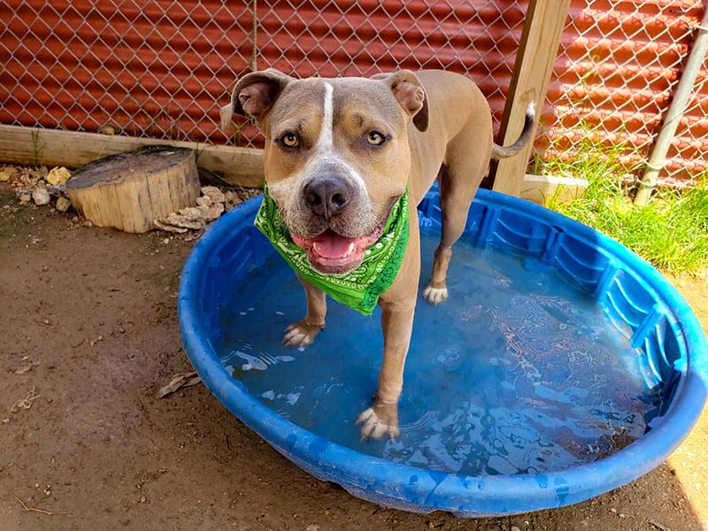 Catfish, a brown and white dog wearing a green bandana, standing in a kiddie pool.