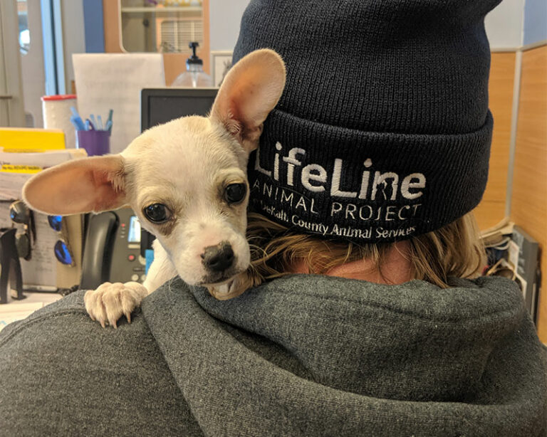lifeline animal project - small chihuahua looking over a staff members shoulder